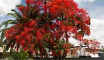 ILLAWARRA FLAME TREES